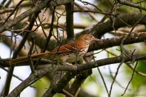 Brown Thrasher, Moody Farm, Morris Twp., NJ, May 25, 2016 (photo by Jonathan Klizas)