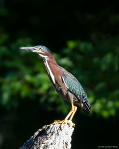 Green Heron, Lake Denmark, NJ, June 12, 2016 (photo by Jonathan Klizas)