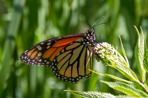 Monarch, Lord Stirling Park, NJ, June 30, 2016 (photo by Jonathan Klizas)