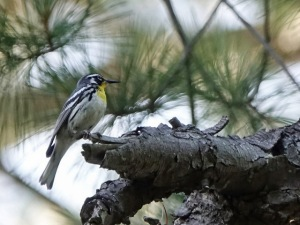 Yellow-throated Warbler, Colonial Park, Franklin Twp., NJ, June 21, 2016 (photo by Ken Eberts)