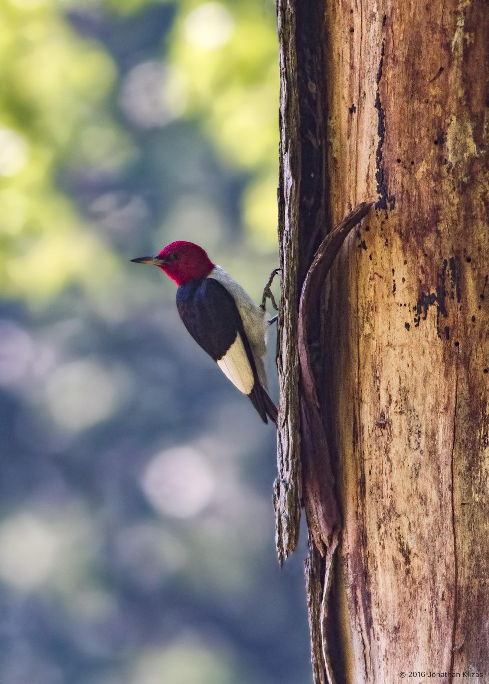 Redhead woodpecker nj