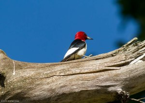 Red-headed Woodpecker, Chatham Twp., NJ, July 4, 2016 (photo by Jonathan Klizas)