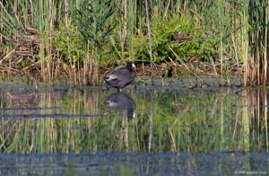 American Coot, Deerhaven Lake, Morris Co., NJ, Aug. 8, 2016 (photo by Jonathan Klizas)