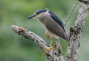 Black-crowned Night-Heron, Parsippany, NJ, July 31, 2016 (photo by Chuck Hantis)
