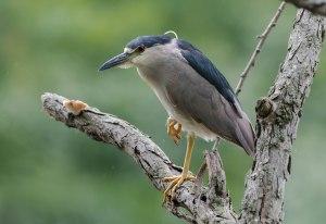 Black-crowned Night-Heron, Parsippany, NJ, July 31, 2016 (photo by Chuck Hantis)