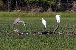 Great Egrets, Great Blue Heron, Lincoln Park Gravel Pits, Morris Co., NJ, Aug. 14, 2016 (photo by Jonathan Klizas)