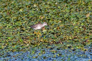 Lesser Yellowlegs, Lincoln Park Gravel Pits, Morris Co., NJ, Aug. 14, 2016 (photo by Jonathan Klizas)
