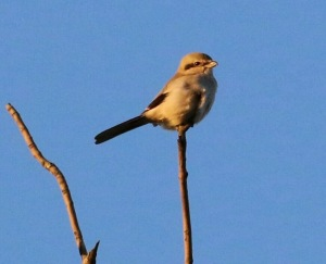 Northern Shrike, Chimney Rock, Martinsville, NJ, Oct. 26, 2016 (photo by Roger Dreyling)