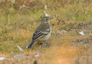 American Pipit, Florham Park, NJ, Oct. 16, 2016 (photo by Chuck Hantis)