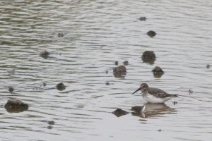 Dunlin, Somerset Co., NJ, Sept. 30, 2016 (photo by Jeff Ellerbusch)