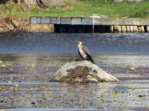 Great Cormorant, Lake Musconetcong, NJ, Oct. 29, 2016 (photo by Alan Boyd)