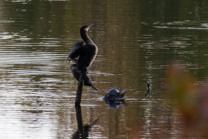 Great and Double-crested Cormorants, Parsippany, NJ, Oct. 19, 2016 (photo by Jonathan Klizas)
