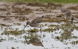 Lesser Yellowlegs, Florham Park, NJ, Oct. 1, 2016 (photo by Chris Thomas)