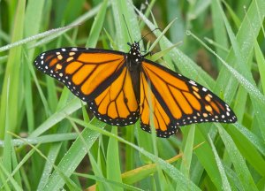 Monarch, Glenhurst Meadows, NJ, Oct. 8, 2016 (photo by John Bloomfield)