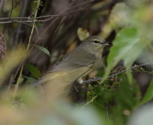 Orange-crowned Warbler, Lord Stirling Park, NJ, Oct. 20, 2016 (photo by Jason Denesevich).