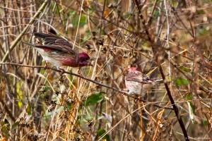 Purple Finches, Troy Meadows, NJ, Oct. 29, 2016 (photo by Jonathan Klizas)