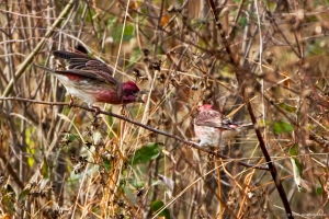 Purple Finches, Troy Meadows, NJ, Oct. 29, 2016 (photo by Jonathan Klizas)