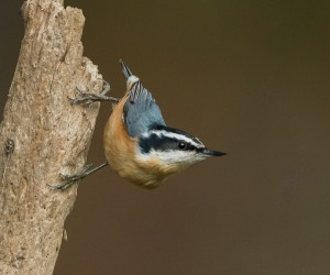 Red-breasted Nuthatch, East Hanover, NJ, Oct. 16, 2016 (photo by Chuck Hantis)