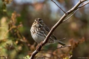 Savannah Sparrow, Florham Park, NJ, Oct. 29, 2016 (photo by Jonathan Klizas)