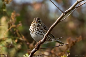 Savannah Sparrow, Florham Park, NJ, Oct. 29, 2016 (photo by Jonathan Klizas)