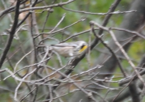 Yellow-throated Warbler, Glenhurst Meadows, NJ, Oct. 21, 2016 (documentation photo by Jason Denesevich)