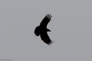 Common Raven, Timberbrook Lake, Morris Co., NJ, Nov. 24, 2016 (photo by Jonathan Klizas)