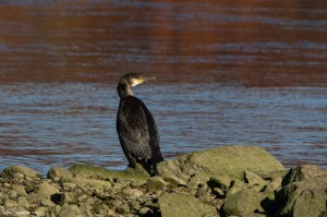 Great Cormorant, Lake Musconetcong, NJ, Nov. 5, 2016 (photo by Jonathan Klizas)