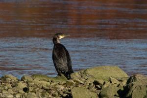 Great Cormorant, Lake Musconetcong, NJ, Nov. 5, 2016 (photo by Jonathan Klizas)