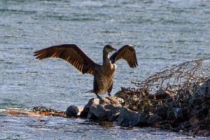 Great Cormorant, Lake Parsippany, NJ, Nov. 11, 2016 (photo by Jonathan Klizas)