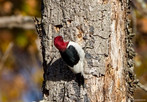 Red-headed Woodpecker, Long Hill Twp., NJ, Nov. 13, 2016 (photo by Jonathan Klizas)