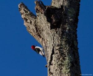 Red-headed Woodpecker, Troy Meadows, NJ, Nov. 11, 2016 (photo by jonathan Klizas)