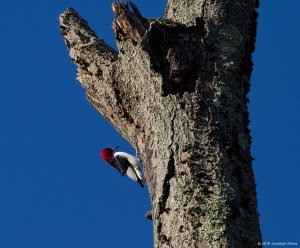 Red-headed Woodpecker, Troy Meadows, NJ, Nov. 11, 2016 (photo by jonathan Klizas)