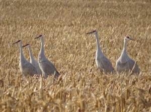 Sandhill Cranes, Franklin Twp., NJ, Nov. 24, 2016 (photo by Michael Yuan)