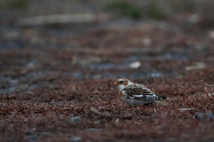 Snow Bunting, Glenhurst Meadows, NJ, Nov. 14, 2016 (photo by Jeff Ellerbusch)