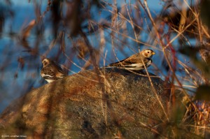 Snow Buntings, Budd Lake, NJ, Nov. 7, 2016 (photo by Jonathan Klizas)