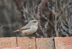 Rock Wren, Franklin Twp., NJ, Dec. 26, 2016 (photo by Ben Barkley)