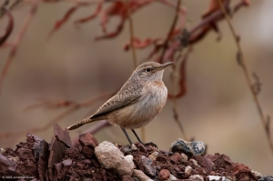 Rock Wren, Franklin Twp., Somerset Co., NJ, Dec. 27, 2016 (photo by Jonathan Klizas)