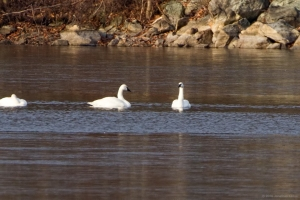 Tundra Swans, Lake Hopatcong, Morris Co., NJ, Dec. 10, 2016 (photo by Jonathan Klizas)