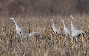 Sandhill Cranes, Franklin Twp., NJ, Jan. 12, 2017 (photo by Chuck Hantis)