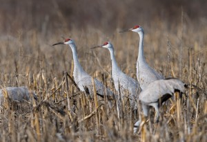 Sandhill Cranes, Franklin Twp., NJ, Jan. 12, 2017 (photo by Chuck Hantis)