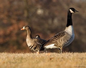 Greater White-fronted Goose, Franklin Twp., NJ, Jan. 1, 2017
