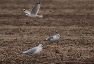 Mew Gull, Somerset Co., NJ, Jan. 3, 2017 (photo by Jeff Ellerbusch)