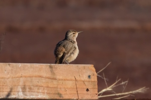 Rock Wren, Franklin Twp., Somerset Co., NJ, Jan. 1, 2017 (photo by Jonathan Klizas)