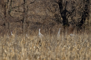 Sandhill Cranes, Franklin Twp., NJ, Jan. 1, 2017 (photo by Jonathan Klizas)