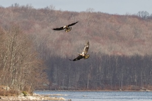 Bald Eagles, Split Rock Reservoir, Morris Co., NJ, Feb. 25, 2017 (photo by Jonathan Klizas)