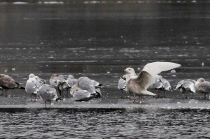 Glaucous Gull, Lk. Hopatcong, NJ, Feb. 5, 2017 (photo by Jeff Ellerbusch)