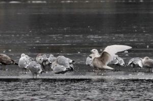 Glaucous Gull, Lk. Hopatcong, NJ, Feb. 5, 2017 (photo by Jeff Ellerbusch)