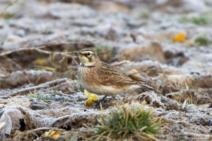 Horned Lark, Montville Twp., NJ, Feb. 19, 2017 (photo by Jonathan Klizas)