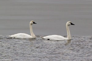 Tundra Swans, Lake Hopatcong, NJ, Feb. 8, 2017 (photo by Jonathan Klizas)