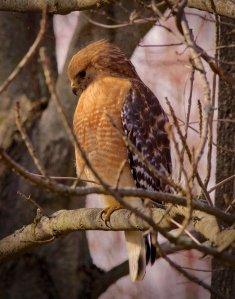 Red-shouldered Hawk, Great Swamp NWR, NJ, Mar. 4, 2017 (photo by John Bloomfield)